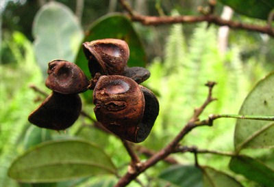 Abarema leucophylla