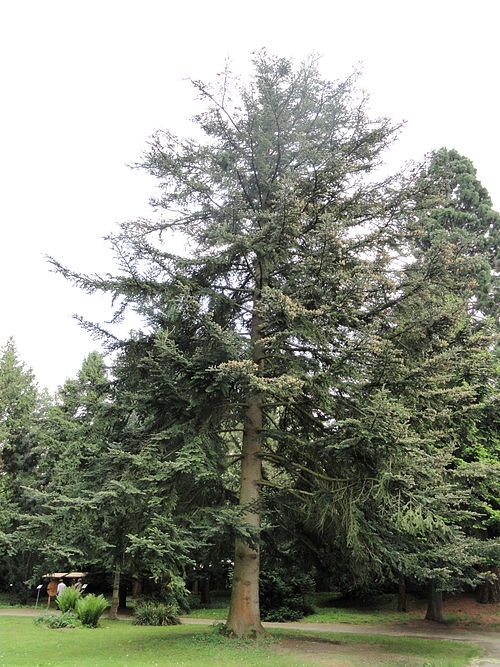Abies chensiensis subsp. yulongxueshanensis