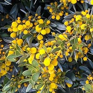 Acacia argyrophylla