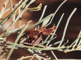 Acacia calcicola