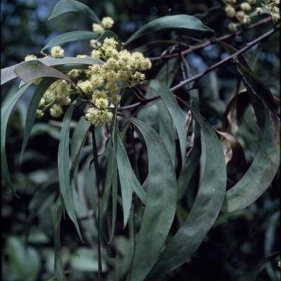 Acacia mabellae