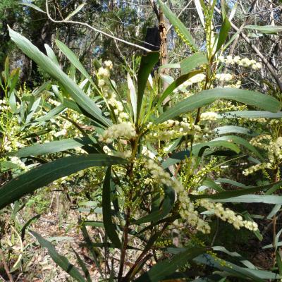 Acacia obtusifolia