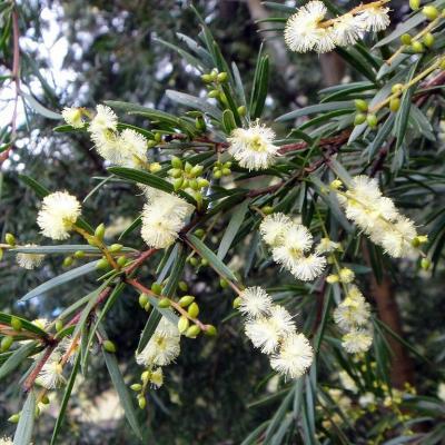 Acacia riceana