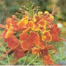 Acacia rivalis