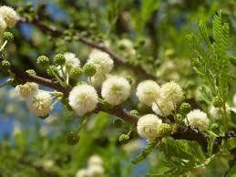Acacia robusta