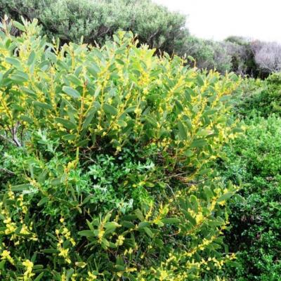 Acacia sophorae the coastal wattle