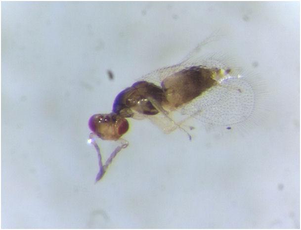 Acalitus phloecoptes