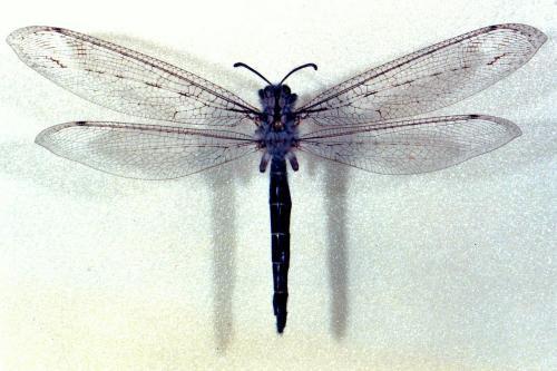 Acanthaclisis occitanica 1