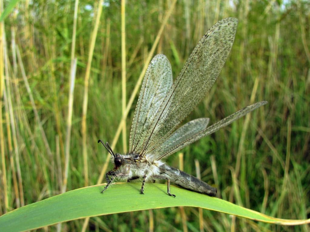 Acanthaclisis occitanica 3