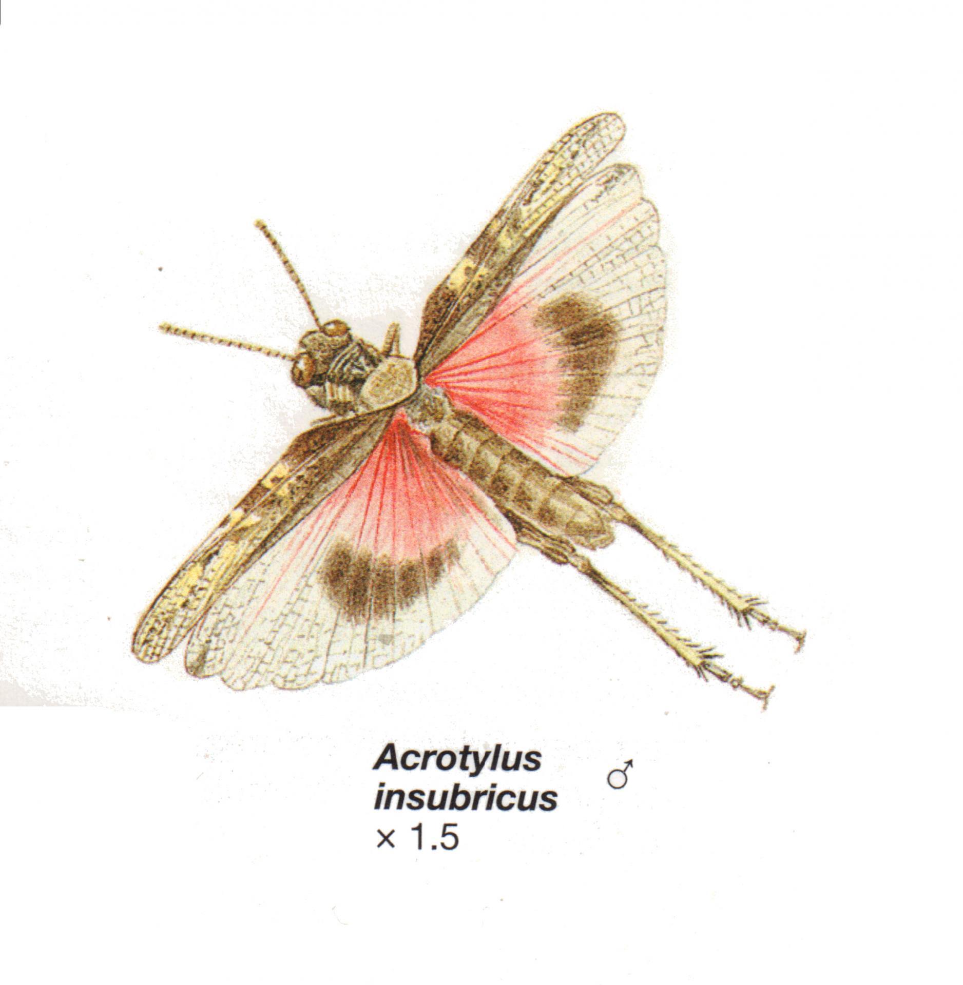Acrotylus insubricus