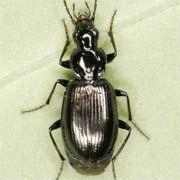 Agonum scitulum