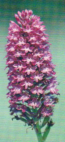 Anacampsis pyramidalis