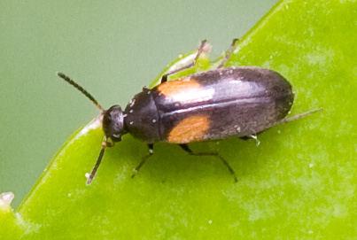 Anaspis fasciata 4