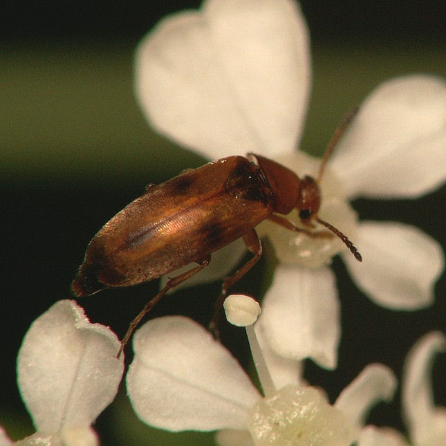 Anaspis maculata 11