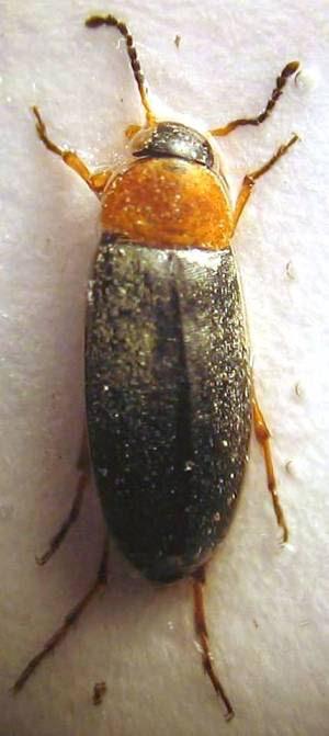 Anaspis sp. 11