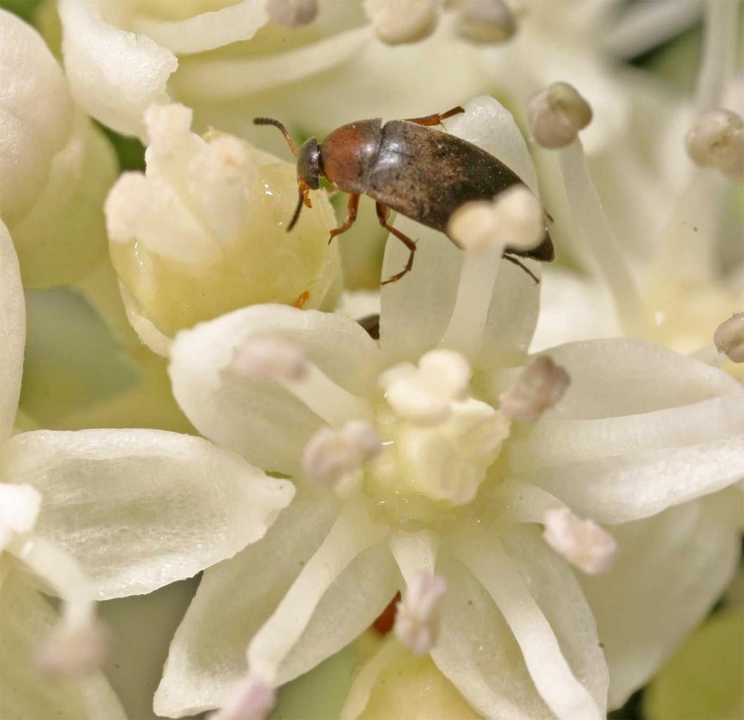 Anaspis variens 3
