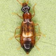 Anthophagus angusticollis