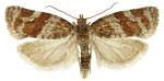 Argyrotoenia ljungiana