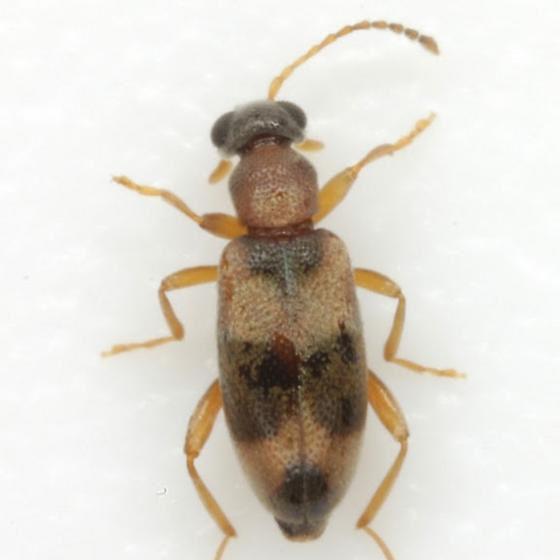 Ariotus subtropicus