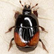 Atholus bimaculatus