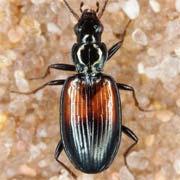 Bembidion varicolor