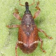 Bladybatus fallax