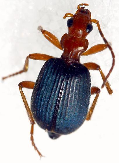 Brachinus phaeocerus