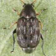 Bruchidius pusillus