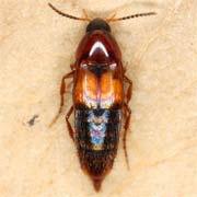 Bryoporus cernuus