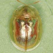 Cassida subreticula