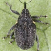 Ceutorhynchus assimilis