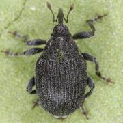 Ceutorhynchus roberti