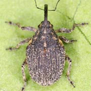 Ceutorhynchus rusticus