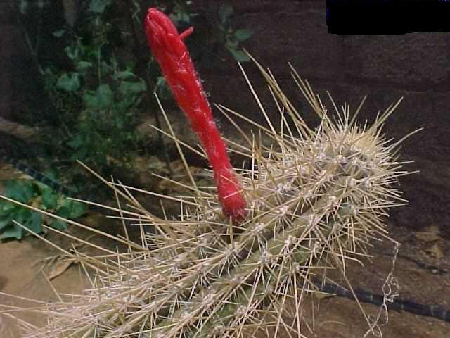 Cleistocactus baumannii v. flavispina