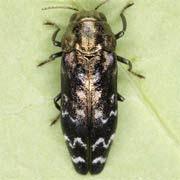 coraebus undatus