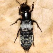 Creophilus maxillosus