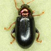 Crepidodera nitidula