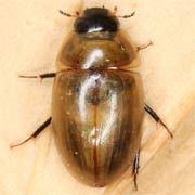 Enochrus melanocephalus