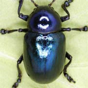Eumolpus asclepiadeus