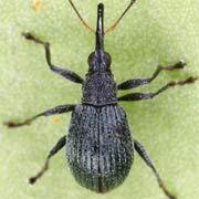 Eutrichapion vorax