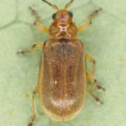 Galerucella grisescens