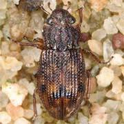 Helophorus arvernicus
