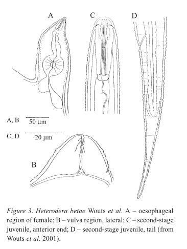 Heterodera betae