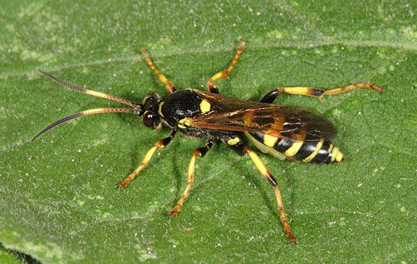 Ichneumon xanthorius