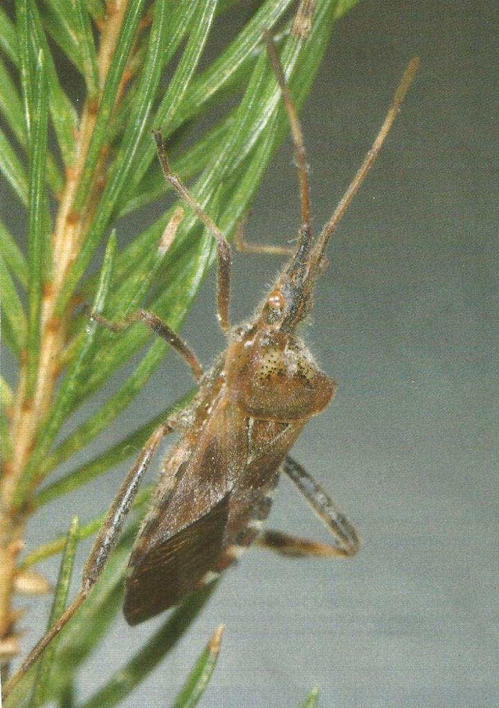Leptoglossus occidentalis 1