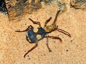 Mastax africanus