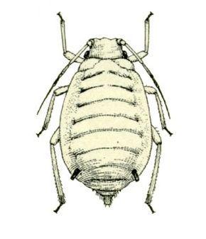Melanaphis pyrarius