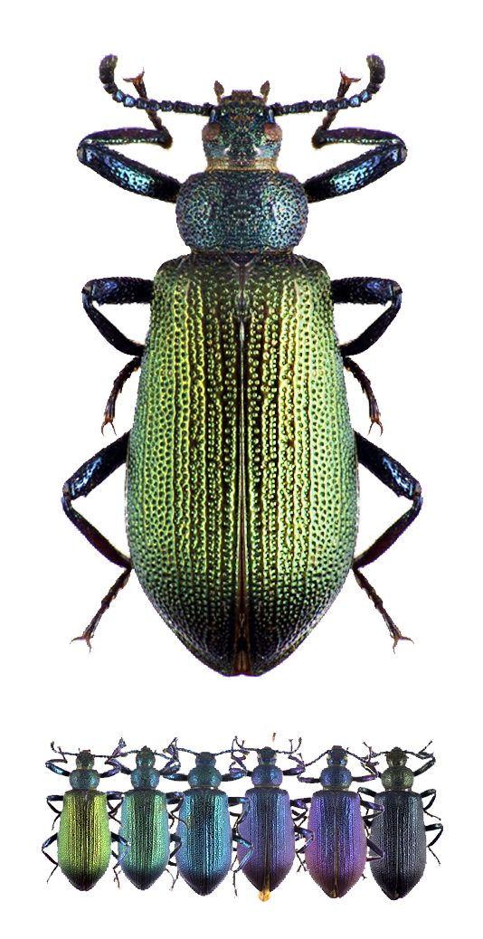 Metallonotus metallicus
