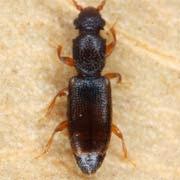 Monatoma longicollis