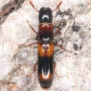 Nemosoma caucasicum